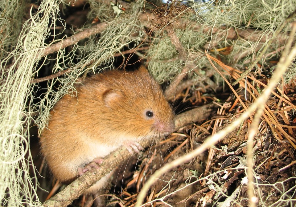 Picture of a Red Tree Vole